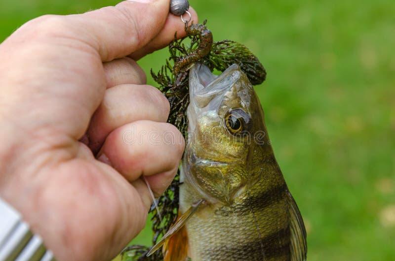 Perche dans les mains du pêcheur photographie stock