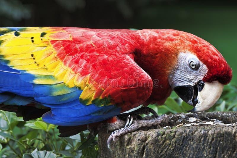 Perche de Macaw d'écarlate sur le joncteur réseau mangeant des graines images libres de droits
