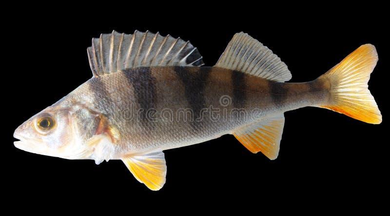 Perche de poissons d'isolement sur le fond noir photo libre de droits