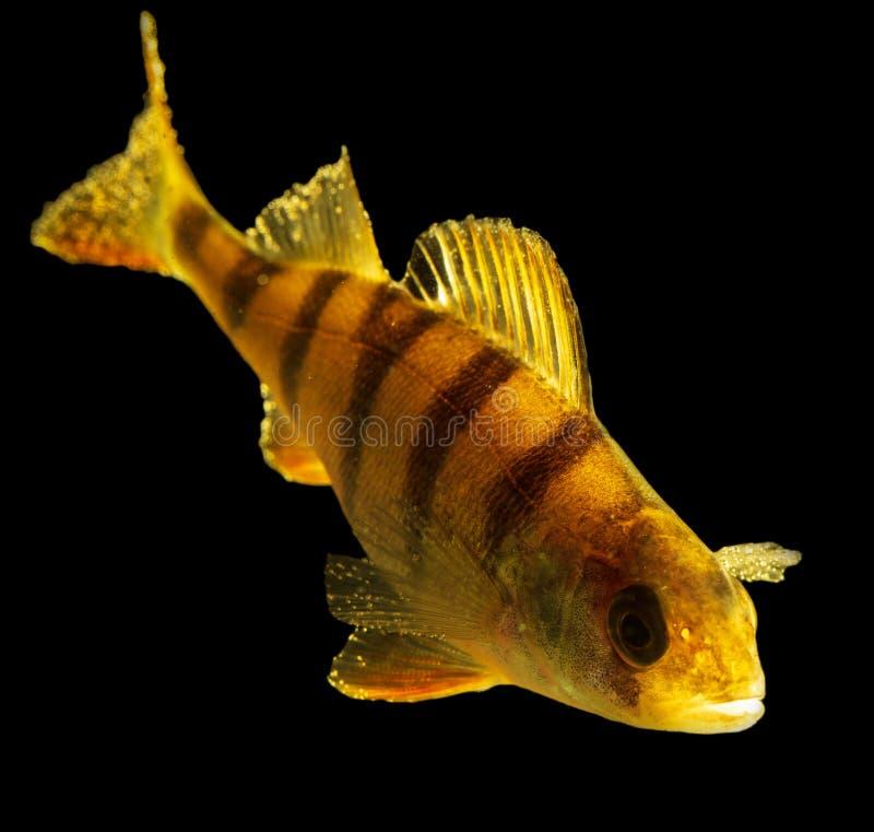 Perche de poissons d'isolement sur le fond noir photographie stock