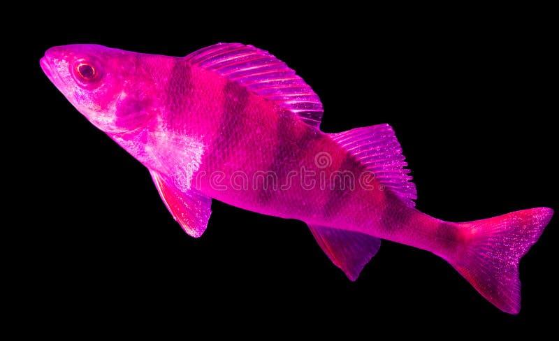 Perche rose de poissons d'isolement sur la couleur noire images libres de droits