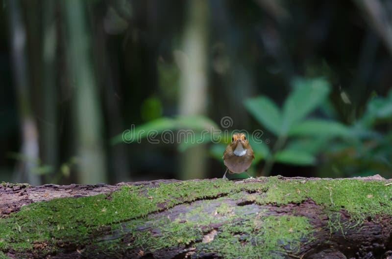 perche Rufous-browed de FLYCATCHER en nature photos stock