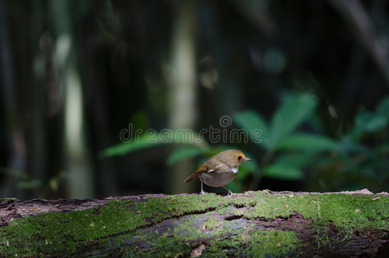 perche Rufous-browed de FLYCATCHER en nature photographie stock libre de droits