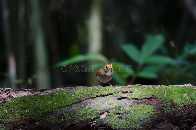 perche Rufous-browed de FLYCATCHER en nature photo libre de droits