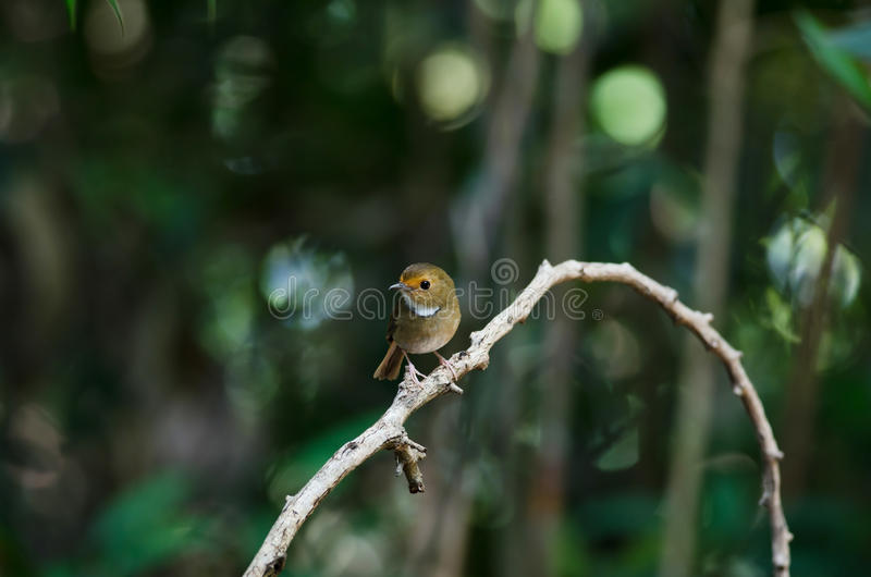 perche Rufous-browed de FLYCATCHER en nature images stock