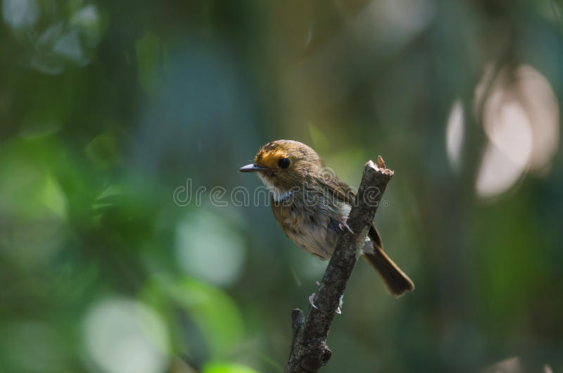 perche Rufous-browed de FLYCATCHER en nature images libres de droits