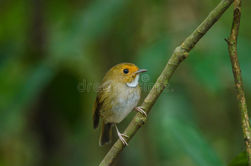 perche Rufous-browed de FLYCATCHER sur la branche photographie stock