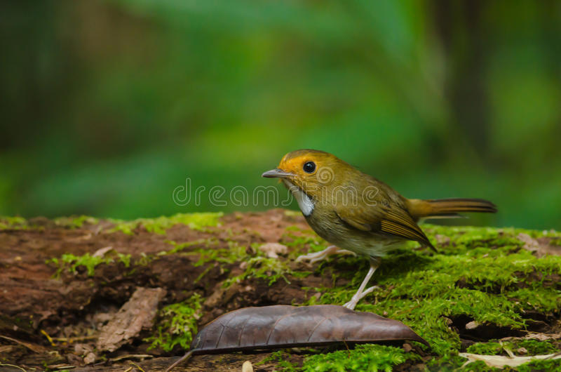 perche Rufous-browed de FLYCATCHER sur la branche photos stock