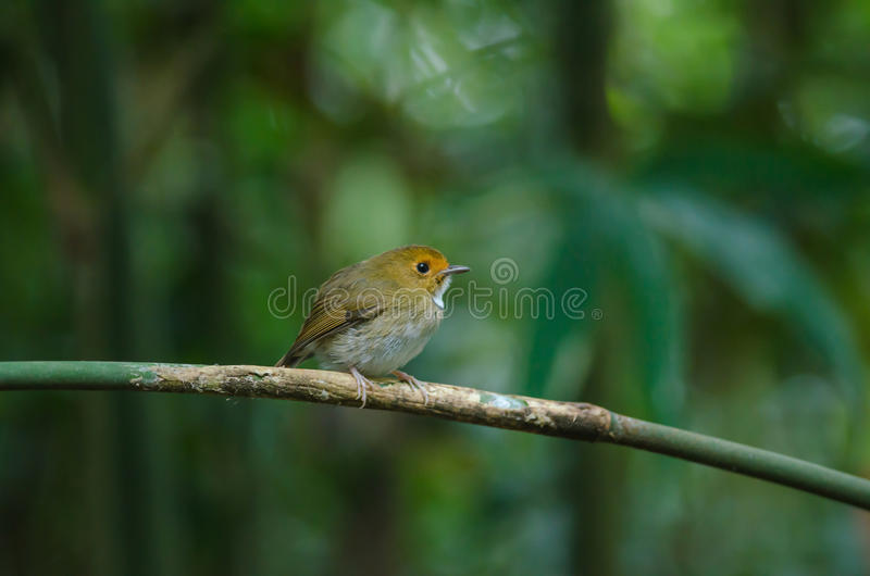 perche Rufous-browed de FLYCATCHER sur la branche photo stock