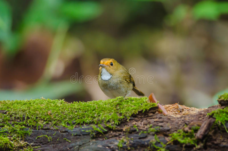 perche Rufous-browed de FLYCATCHER sur la branche photographie stock libre de droits