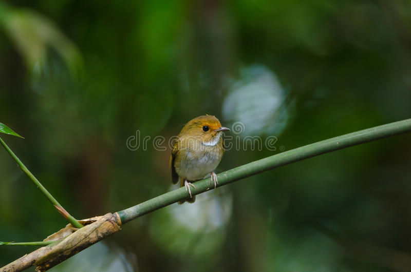 perche Rufous-browed de FLYCATCHER sur la branche photos libres de droits