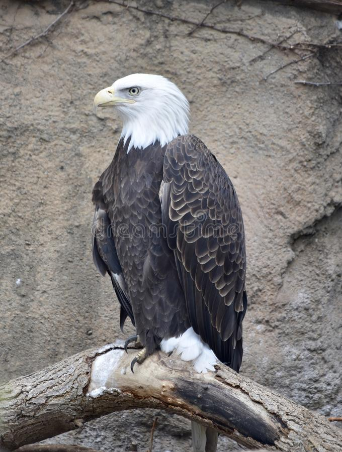 Perched Bald Eagle. This is an early Spring picture of a Bald Eagle perched on a tree branch in its compound at the Lincoln Park Zoo located in Chicago, Illinois stock photos