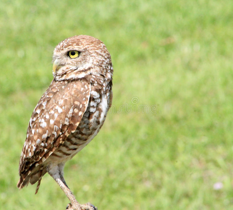 Perched burrowing owl looking back royalty free stock photography