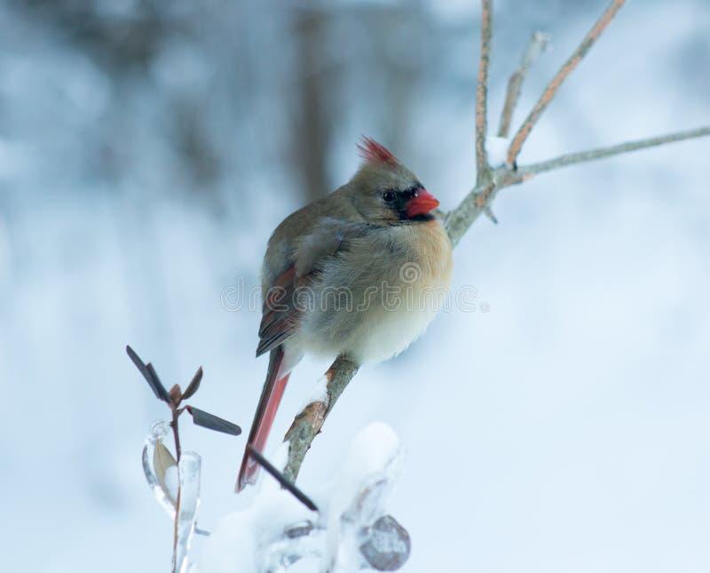 Perched cardinal féminin en hiver photographie stock libre de droits