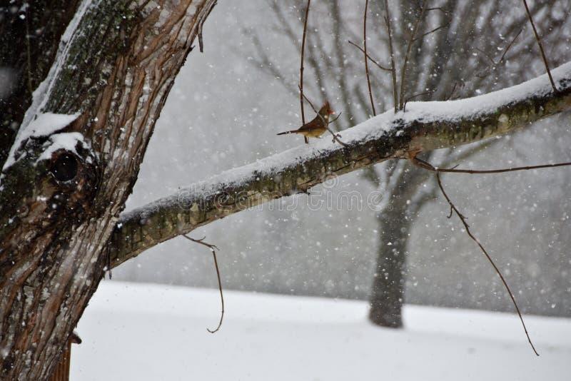Perched cardinal féminin sur une branche dans une tempête de neige photographie stock libre de droits