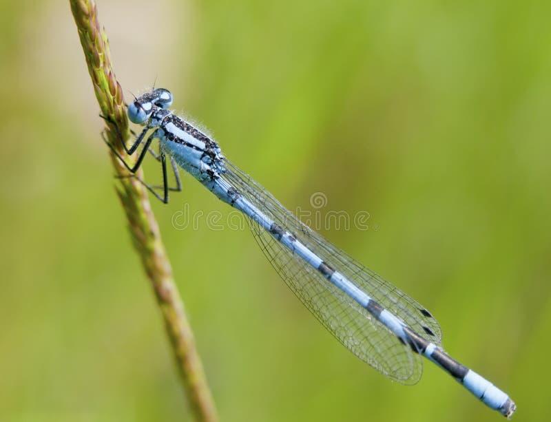 Perched common blue damselfly on grass stalk outside - Enallagma cyathigerum. Essex; England; UK stock photography