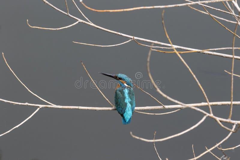 perched filialkingfisher royaltyfria foton
