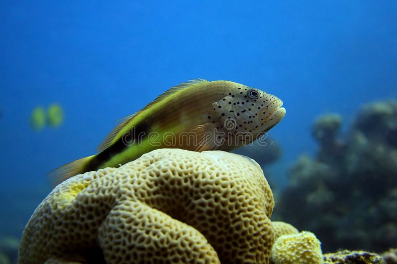 Perched freckled hawkfish