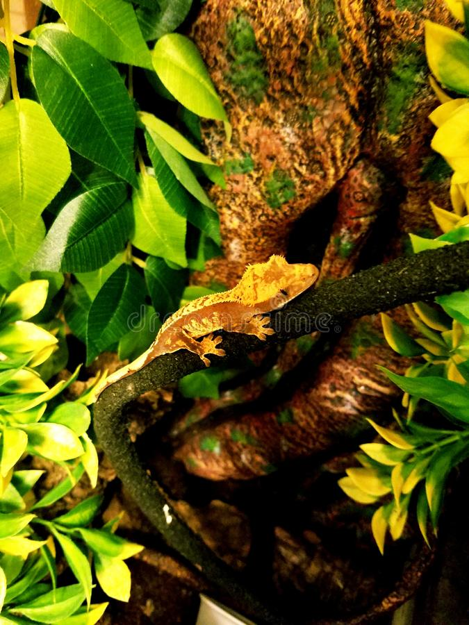 Perched gecko royalty free stock photography