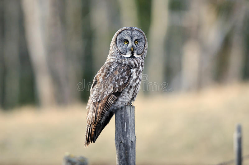 perched grå stor owl arkivbilder
