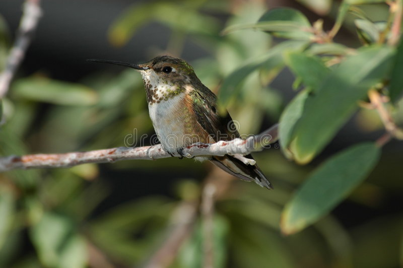 perched hummingbird royaltyfri foto