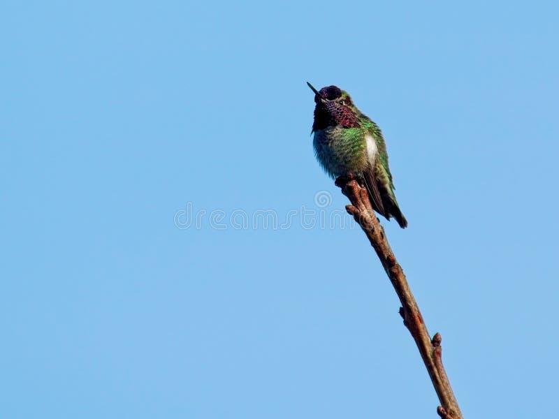 Perched Hummingbird arkivbilder