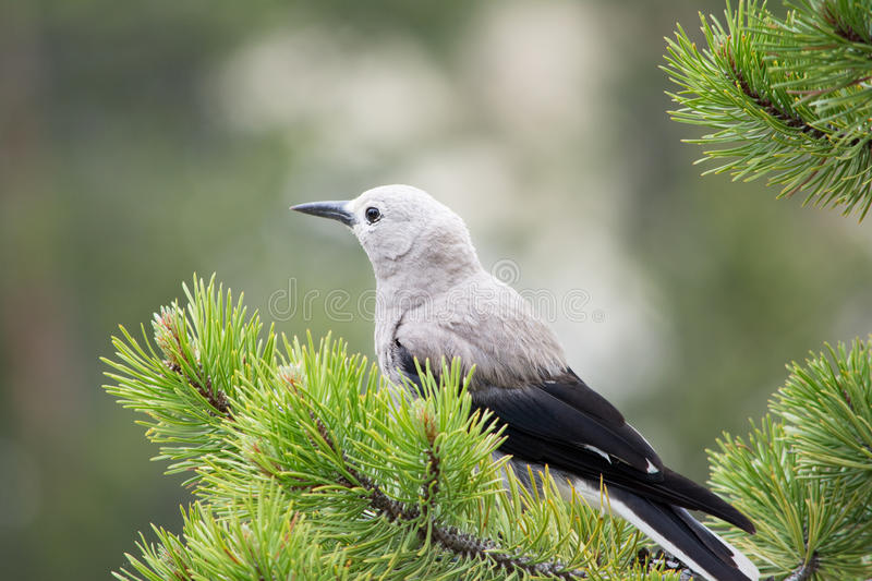 Perched Jay. This was a Canadian Jay perching on a pine tree at Yellowstone National Park. It was with a few others before flying off and perching on this tree stock photo