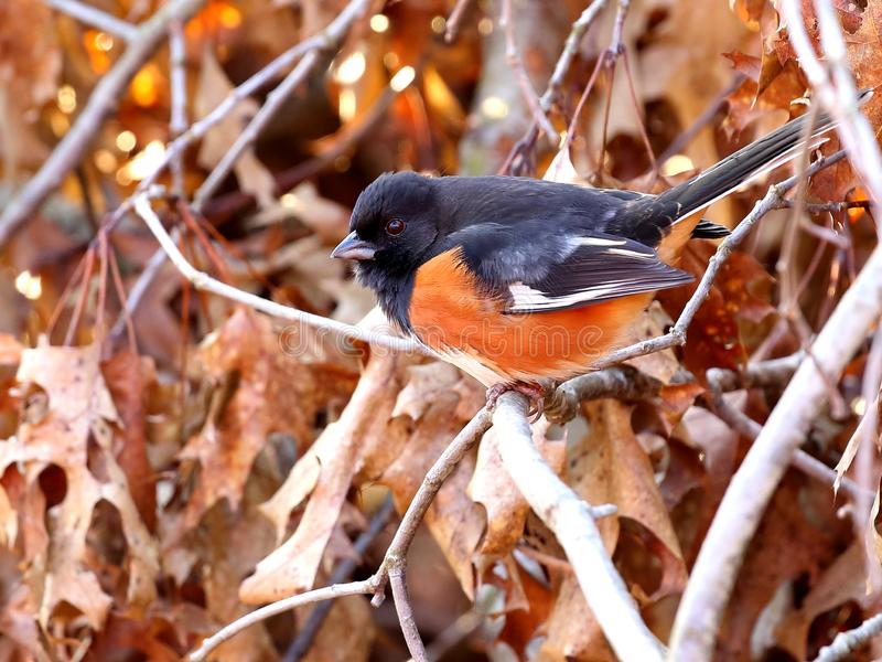 Perched male eastern towhee stock image