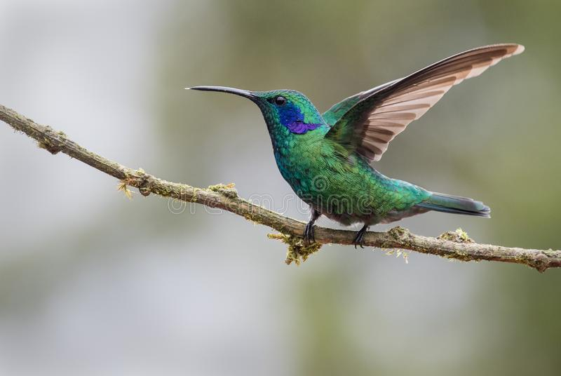 A perched male green violetear stock photos