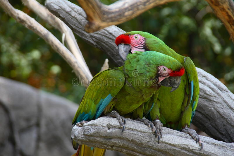 Perched Military Macaws. A pair of perched military macaws royalty free stock image
