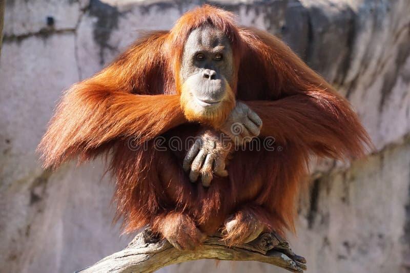 Perched Orangutan. Adult Orangutan, an endangered species, sitting atop a branch royalty free stock photo