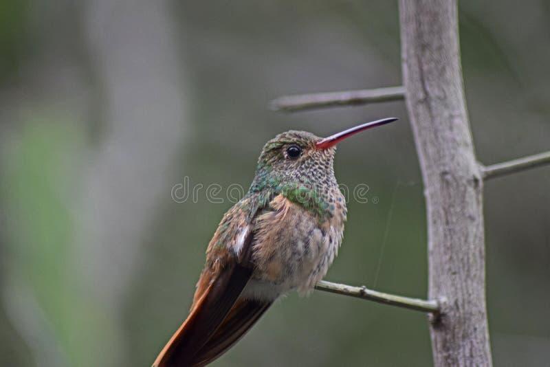 Perched Piel de ante-hinchó el colibrí imagen de archivo libre de regalías