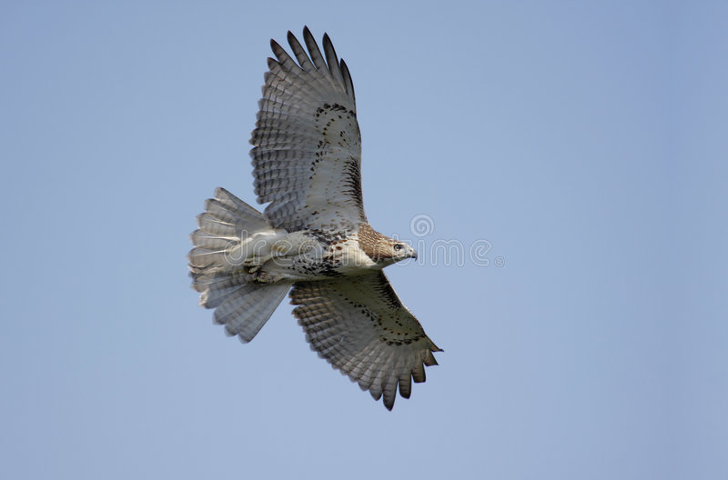 Perched Red-tailed Hawk stock image