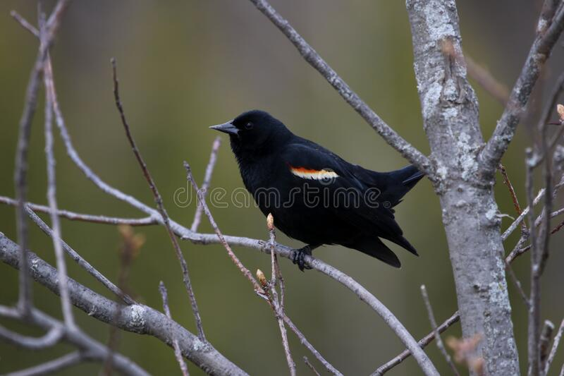 Perched Red-winged Blackbird stock image