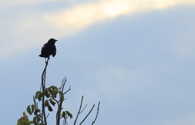 Perched Redwing Blackbird stock image