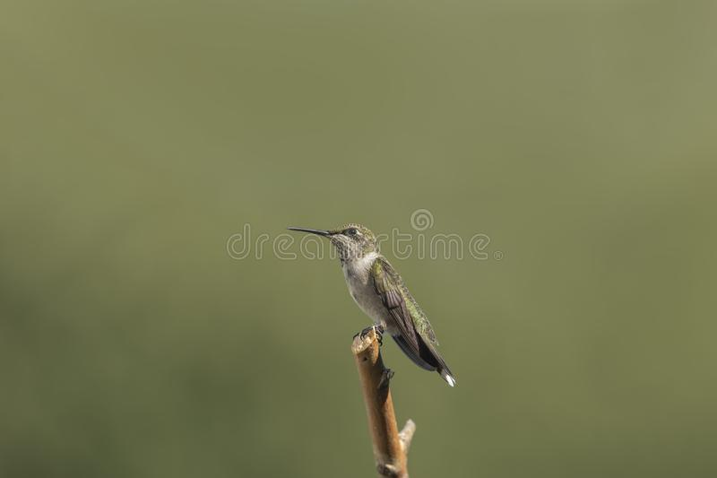 Perched in the Rising Sun. Beautiful Juvenile male Ruby-throated Hummingbird, Archilocus colubris, perched in the rising sun. You can see the tiny ruby red royalty free stock photo