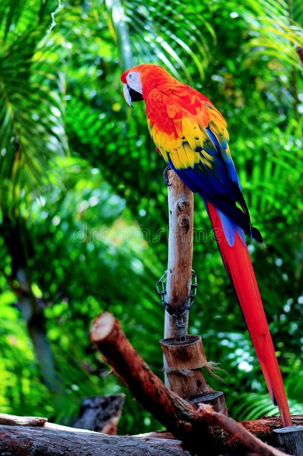 Perched scarlet macaw royalty free stock images