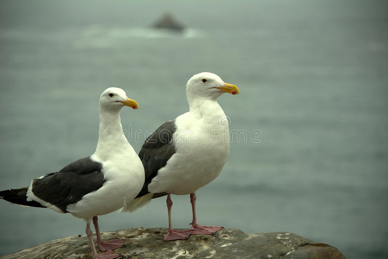 Perched Seagulls royalty free stock images