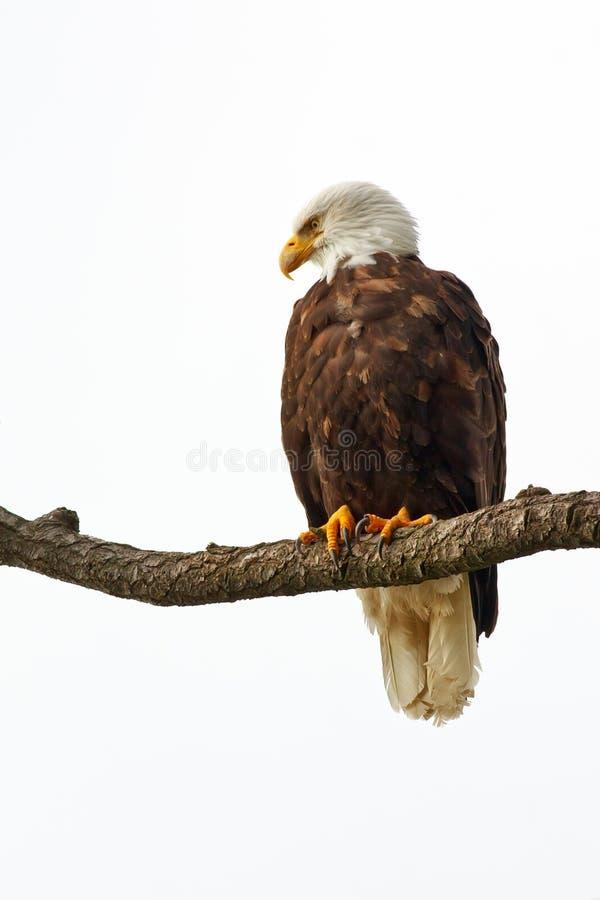 perched skallig örn royaltyfri foto