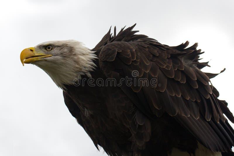 perched skallig örn arkivfoto