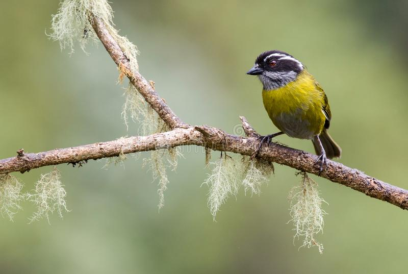 A perched sooty capped chlorospingus royalty free stock image