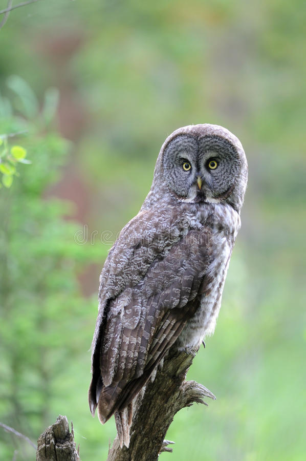 perched stor grå owl för filial arkivfoto