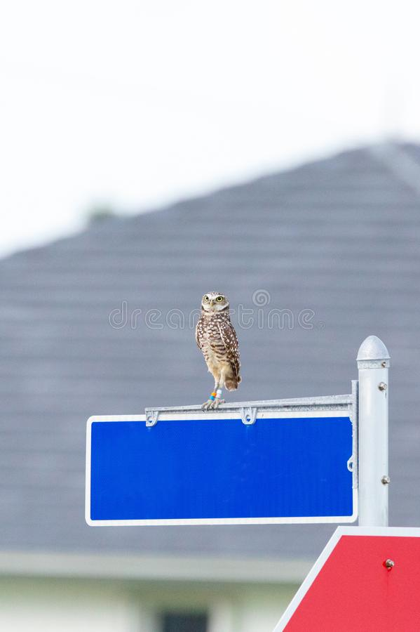 Perched on a street sign, an Adult Burrowing owl Athene cunicularia. Remains alert on Marco Island, Florida royalty free stock photo