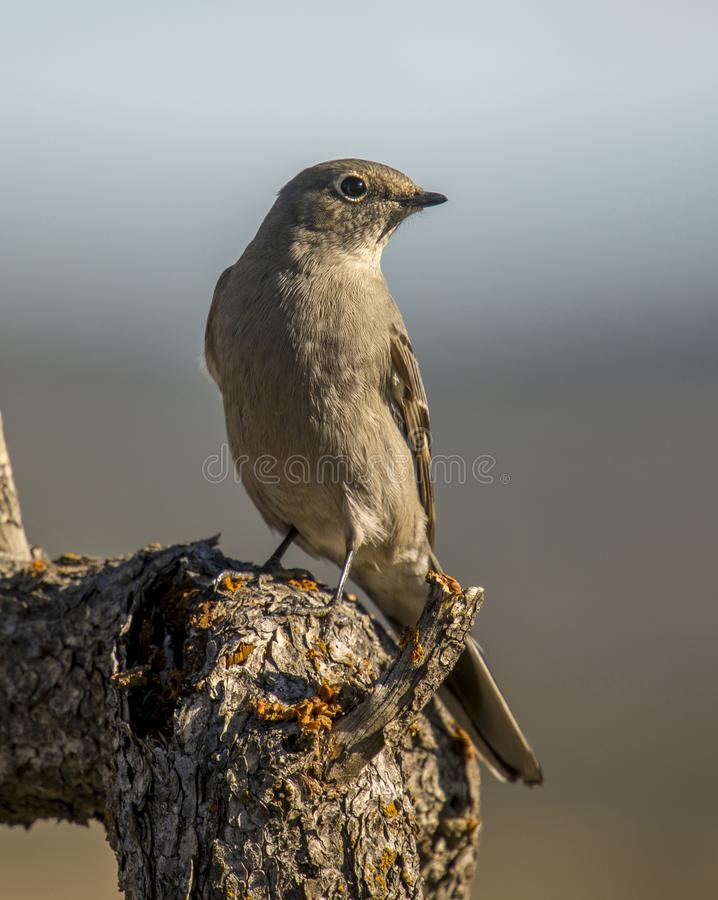 Perched Townsend`s Solitaire royalty free stock image