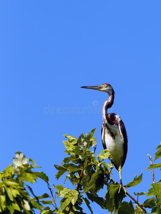 Perched tri colored heron. A tri colored heron is perched on a tree branch in Lake Woodruff park in Deland, Florida stock photos