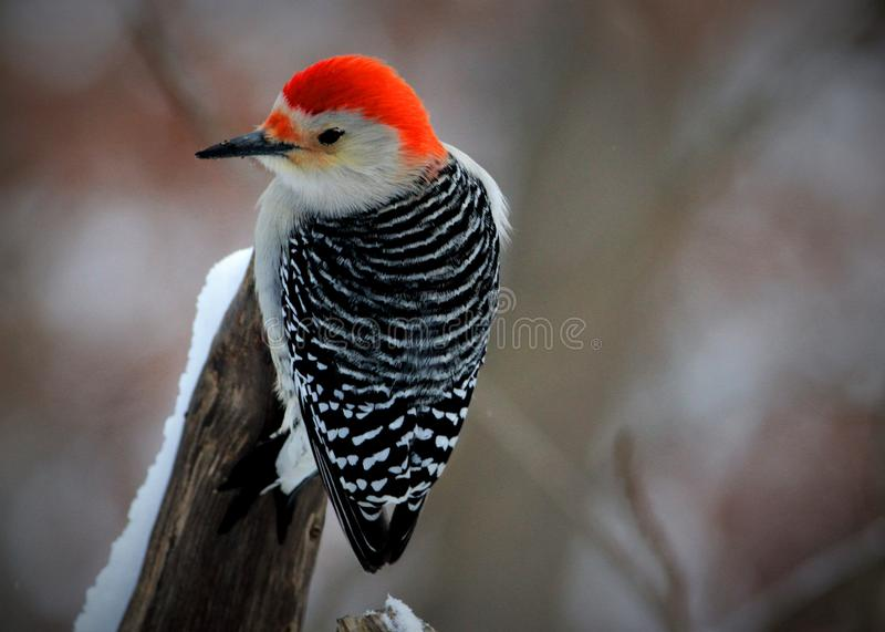 PERCHED WOOD PECKER stock photos