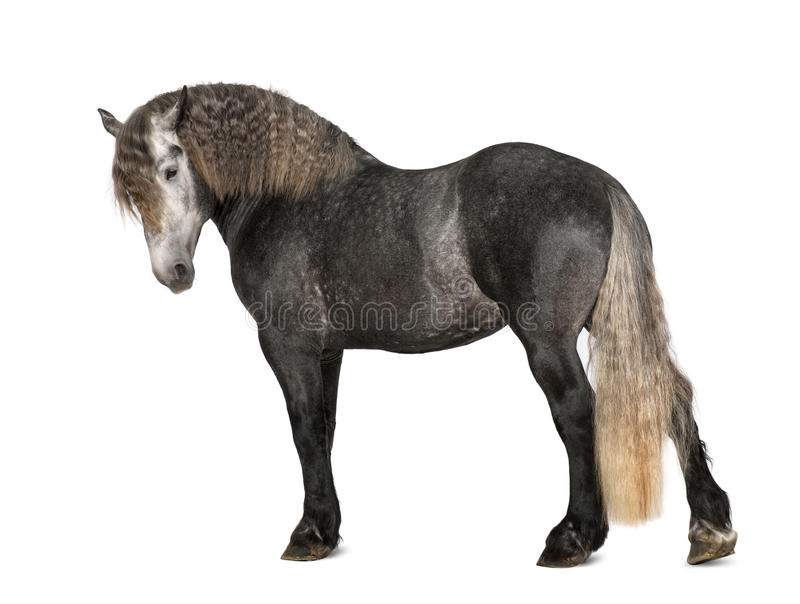 Percheron, 5 années, une race de cheval de trait photos stock