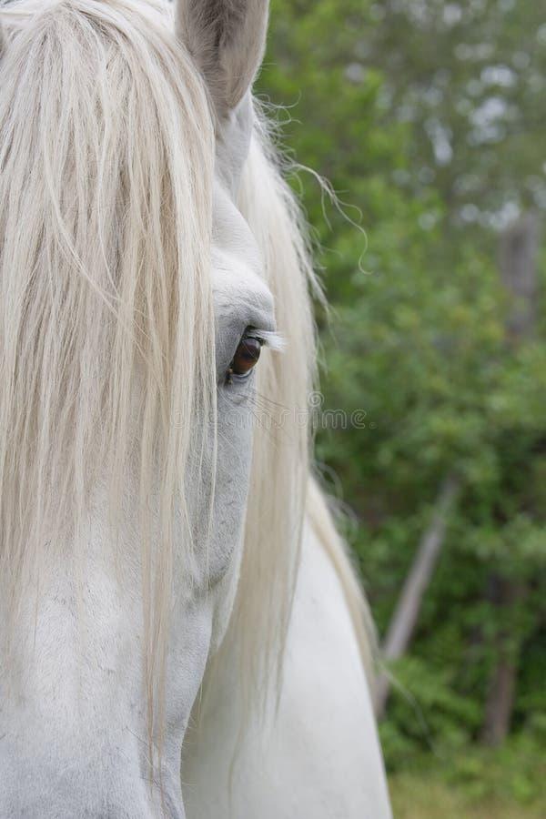 Percheron-Entwurfs-Pferdehalbes Gesicht lizenzfreie stockfotografie