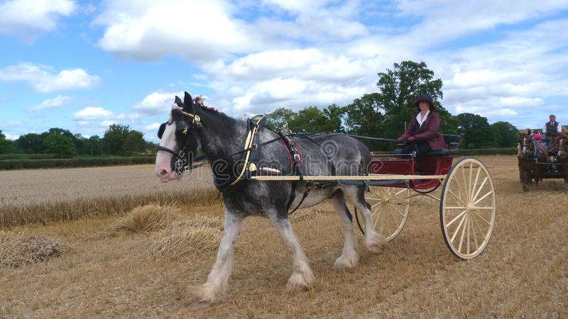 Percheron Horse at a Heavy Horse Country Show in England stock image