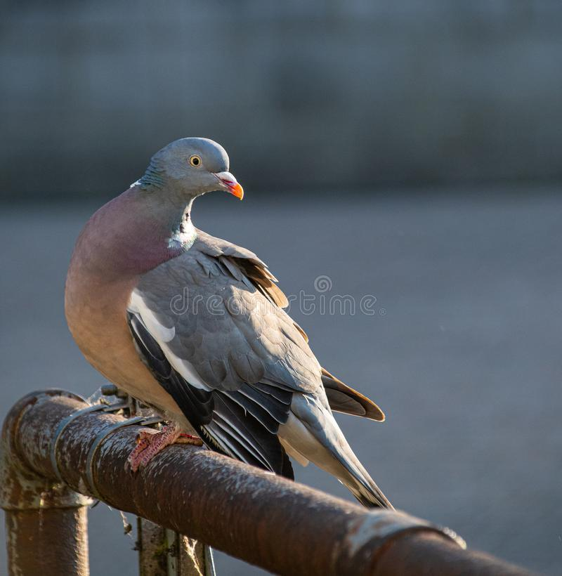 Perching Wood Pigeon. A Common Wood Pigeon looks over it's shoulder whilst perched on a railing on the Thames footpath through Reading stock photo